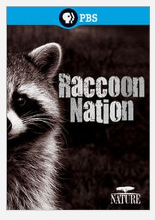 racoon nation
