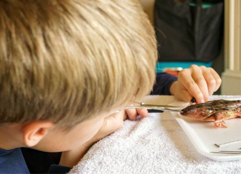 Frog dissection in your homeschool? Absolutely! Get started with these kits.